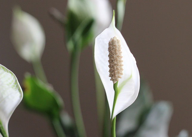 Blog Post | Inspiration Thursday :: The Common House Plant | Peace Lily